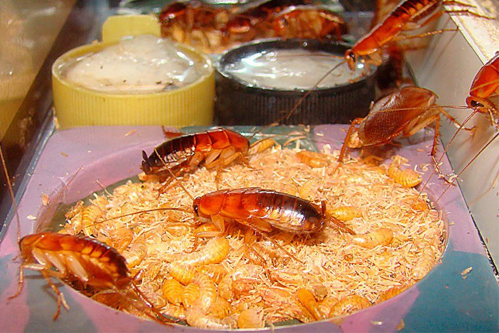 Сколько дней без головы может прожить домашний таракан?