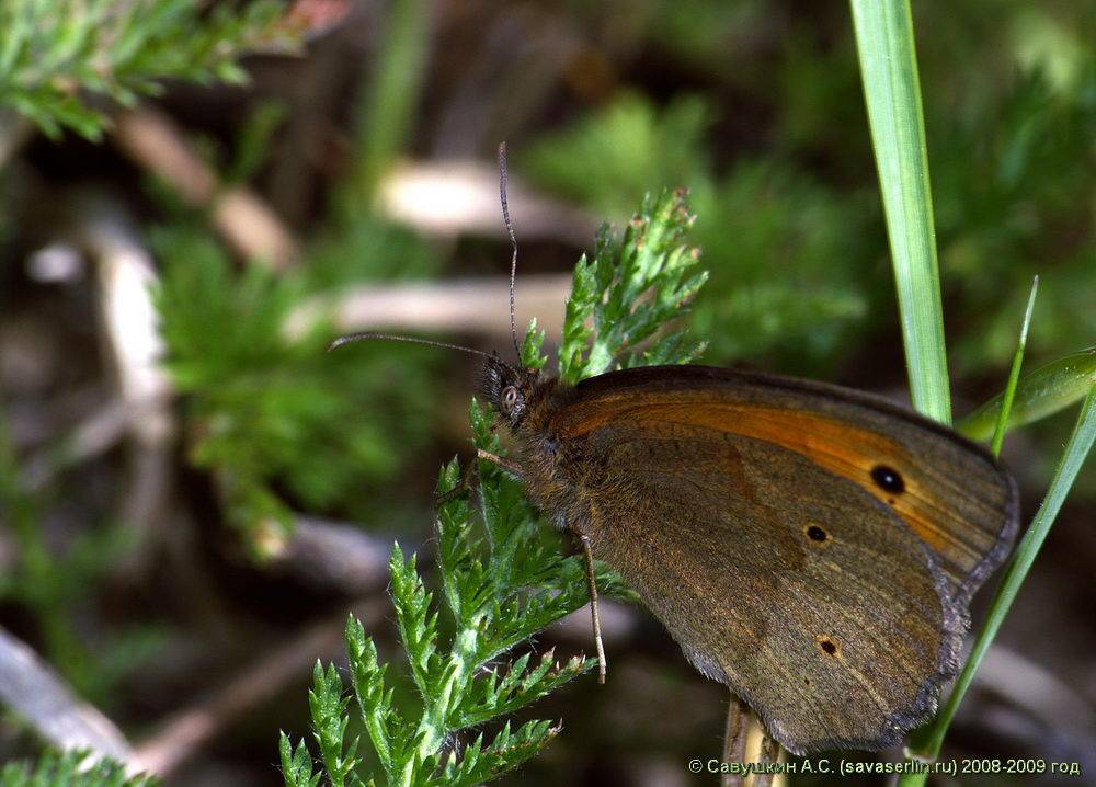 Бабочка и гусеница златогузки – фото и описание