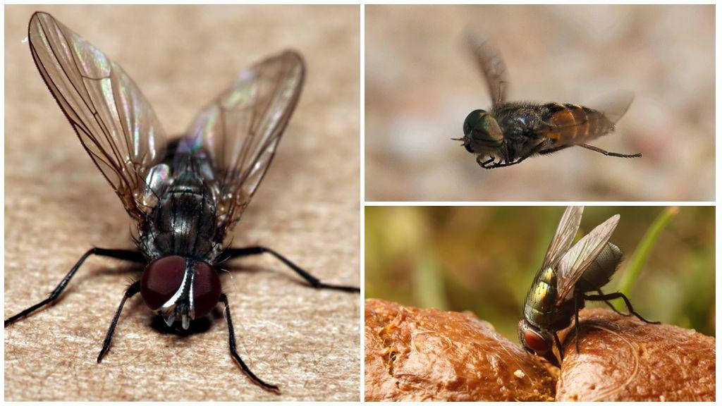 Чем безопасно кормить венерину мухоловку?