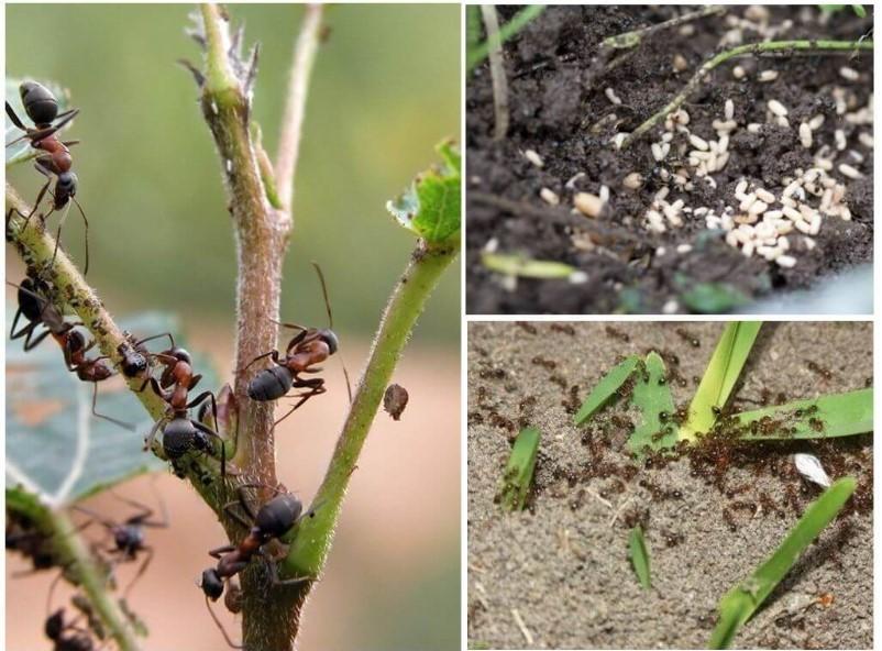 Как избавиться от муравьев на плодовых деревьях и кустарниках - эффективный народный способ