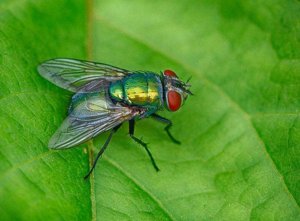 Описание и фото синей мясной мухи