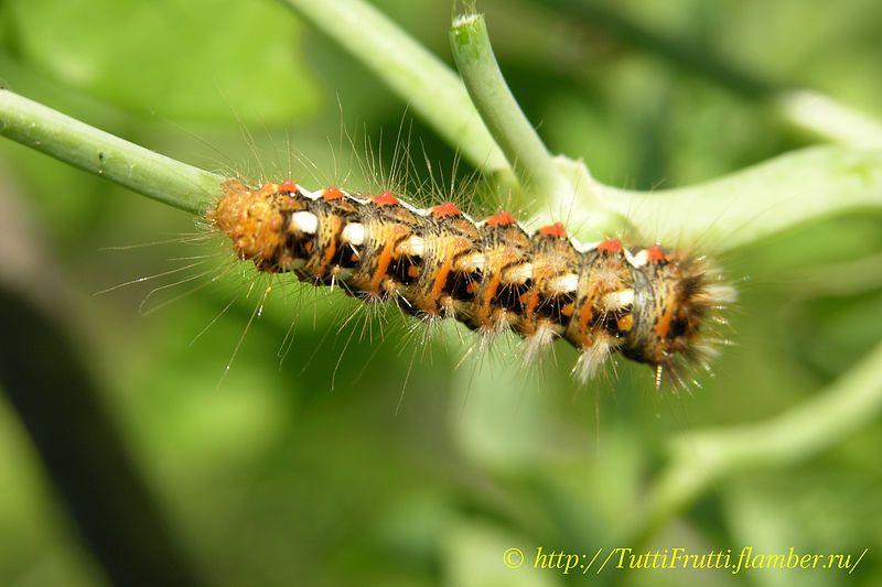 Почему весной бабочка крапивница появляется первой из бабочек