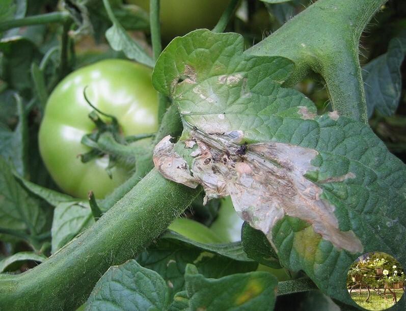 Вредители томатов и борьба с ними, фото