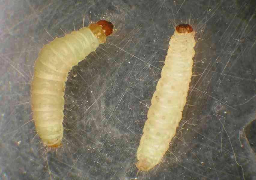 Личинки моли: особенности домашних вредителей