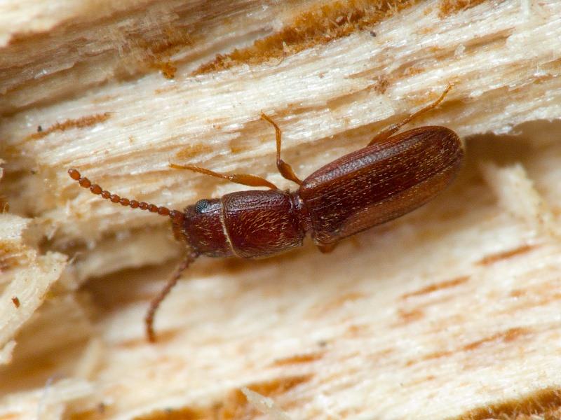Мукоед суринамский как избавиться в квартире. рыжий мукоед вредитель пшеницы. пути проникновения мукоеда в квартиру