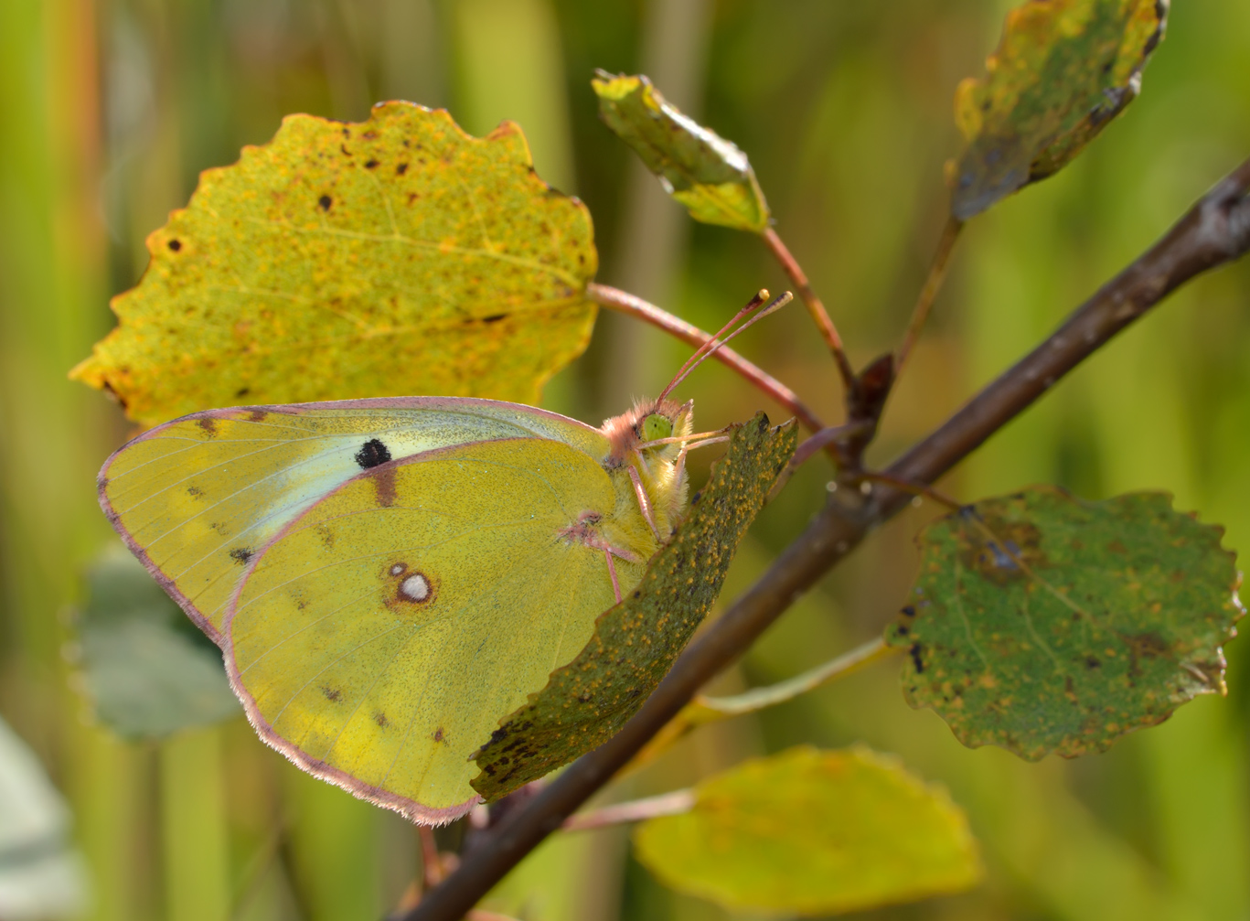 Бабочка луговая желтушка описание для детей. бабочка желтушка луговая – любительница клевера и люцерны
