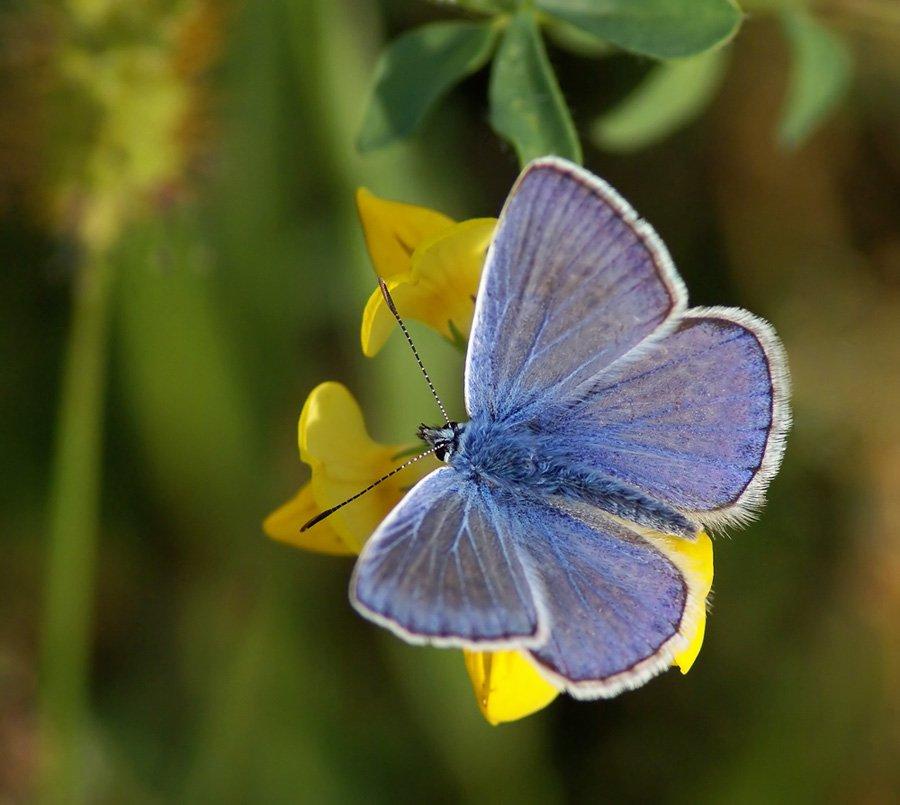 Бабочка голубянка. чем питается бабочка голубянка?