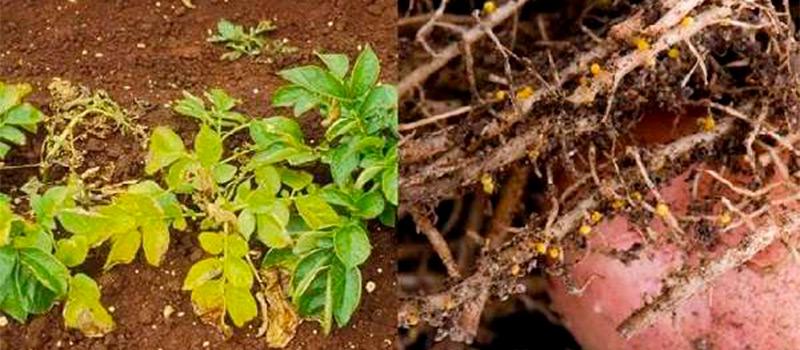 Картофельная нематода признаки | вырасти сад!
