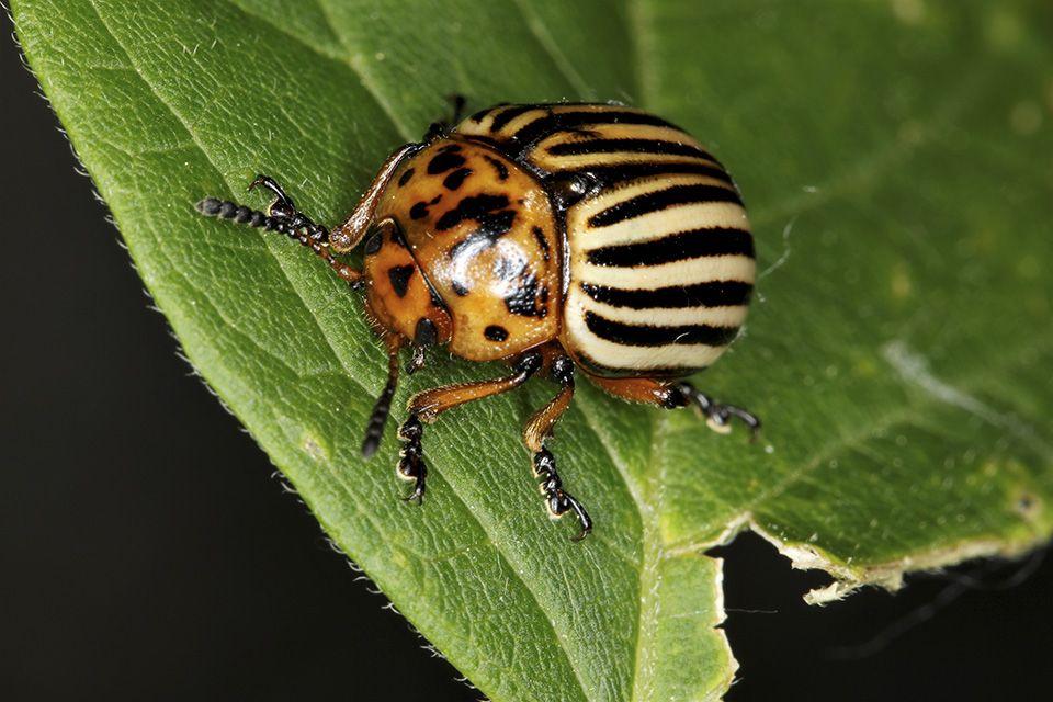 Откуда взялся колорадский жук. как и когда появился колорадский жук в россии   дачная жизнь
