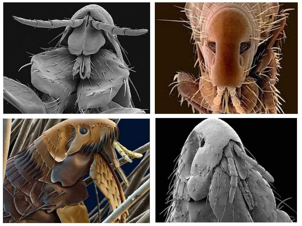 Мошки – фото и описание, виды мошек, откуда появляются