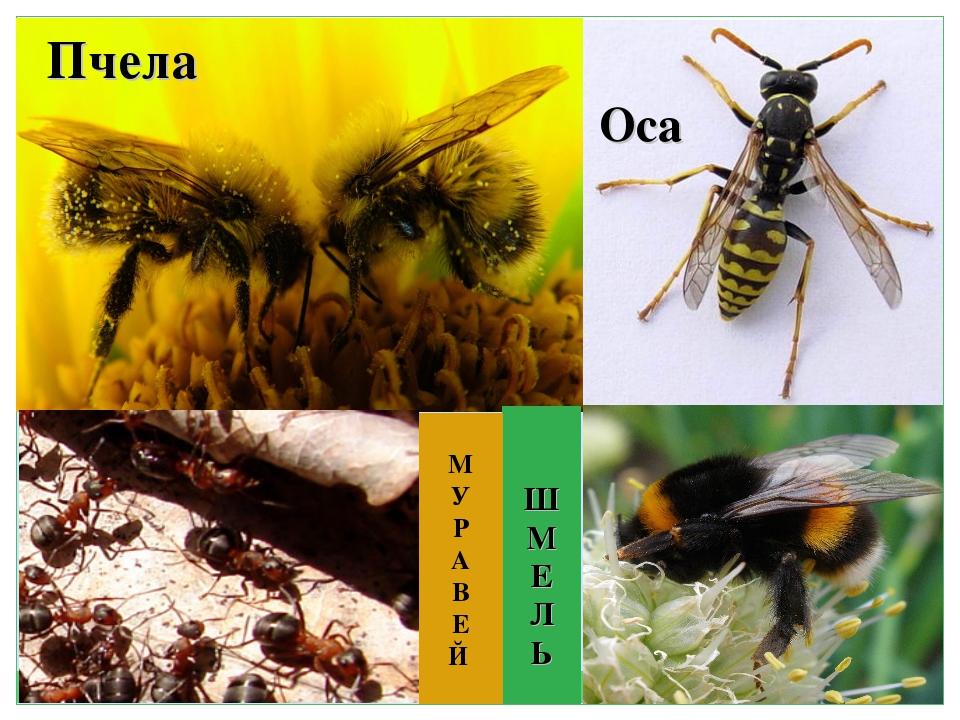 Чем отличается оса от пчелы – руководство по идентификации, фото