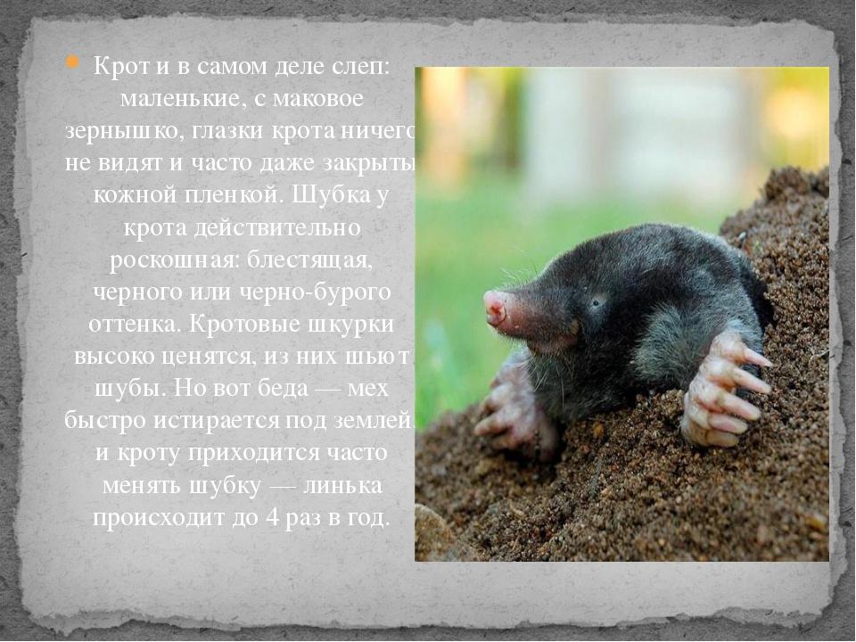 Крот животное. описание, особенности, виды, образ жизни и среда обитания крота | живность.ру