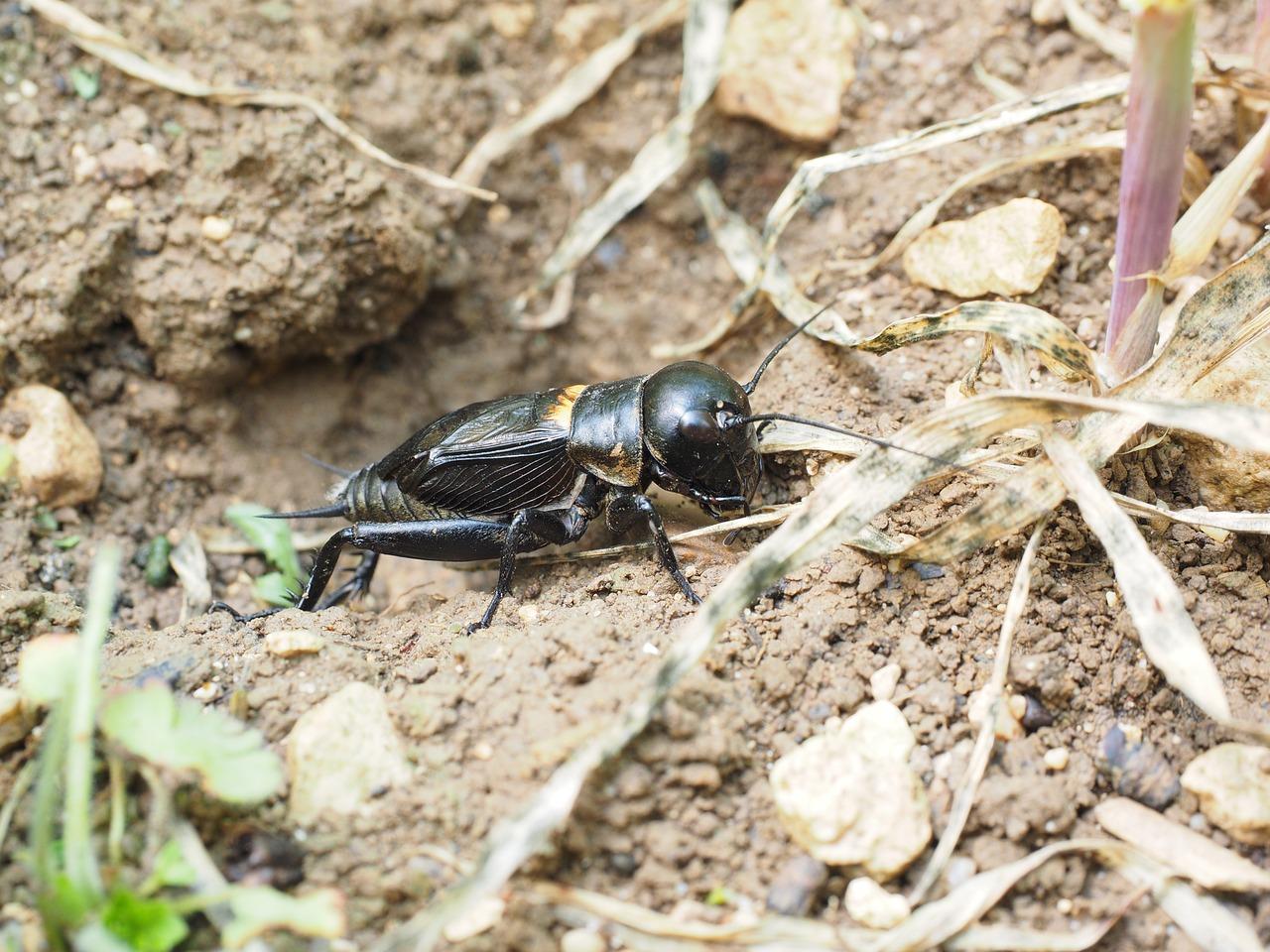 Как выглядит сверчок — фото и описание видов насекомого