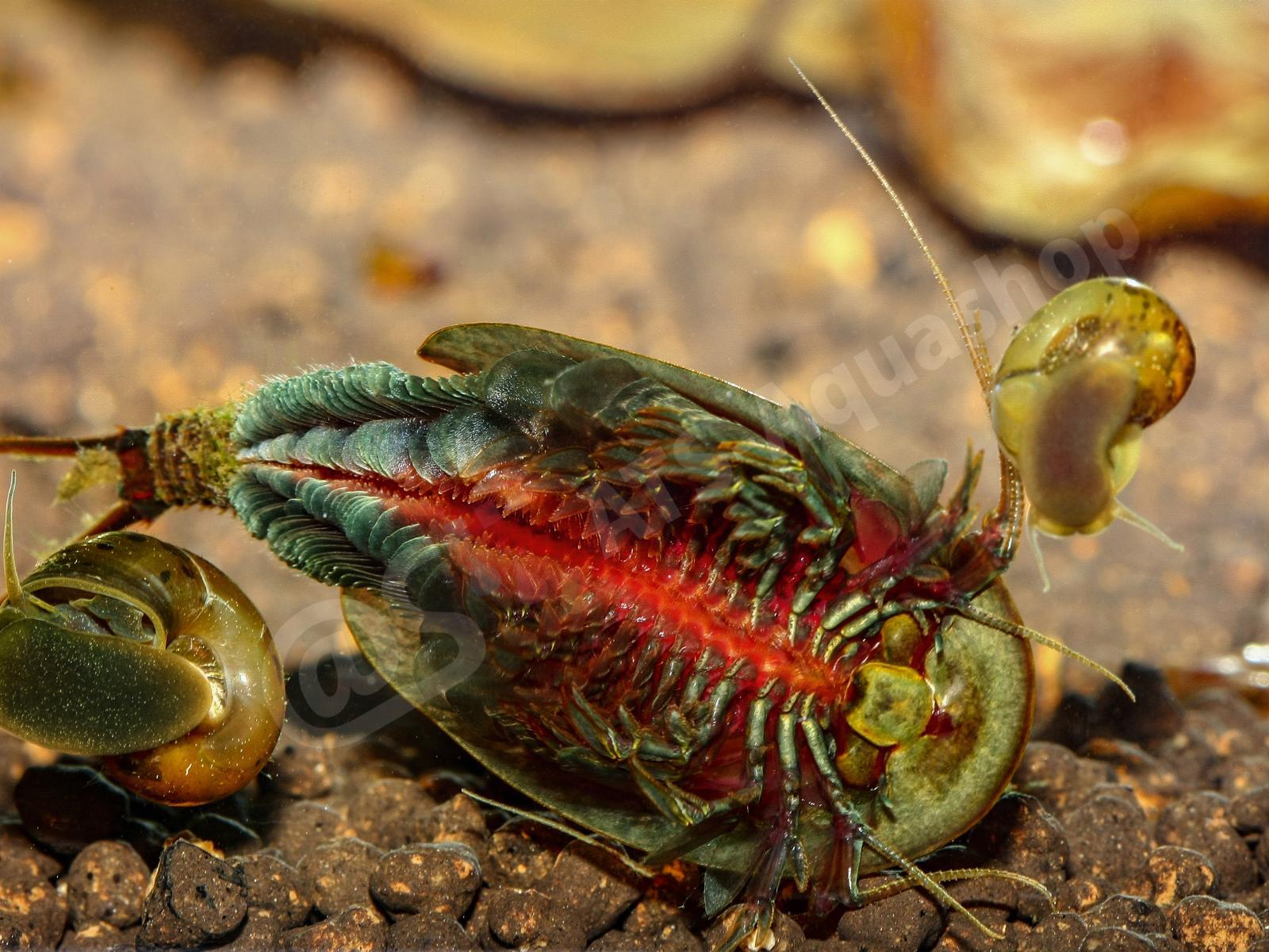 Микрантемум: содержание в аквариуме, виды, болезни, фото