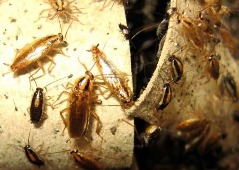 К чему снятся тараканы - много и живые? женщине, в квартире, сонник