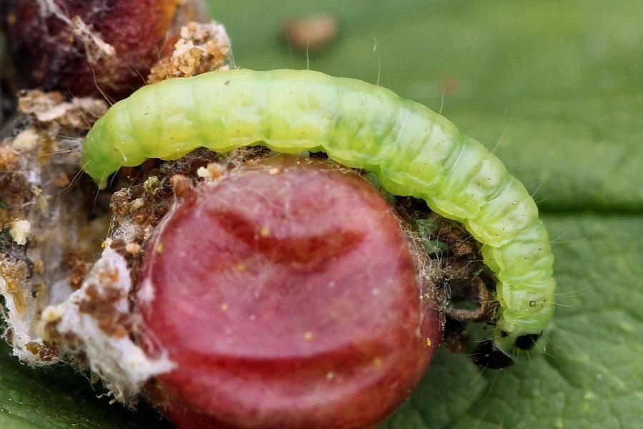 Гусеницы на крыжовнике и смородине, съедены листья – как бороться