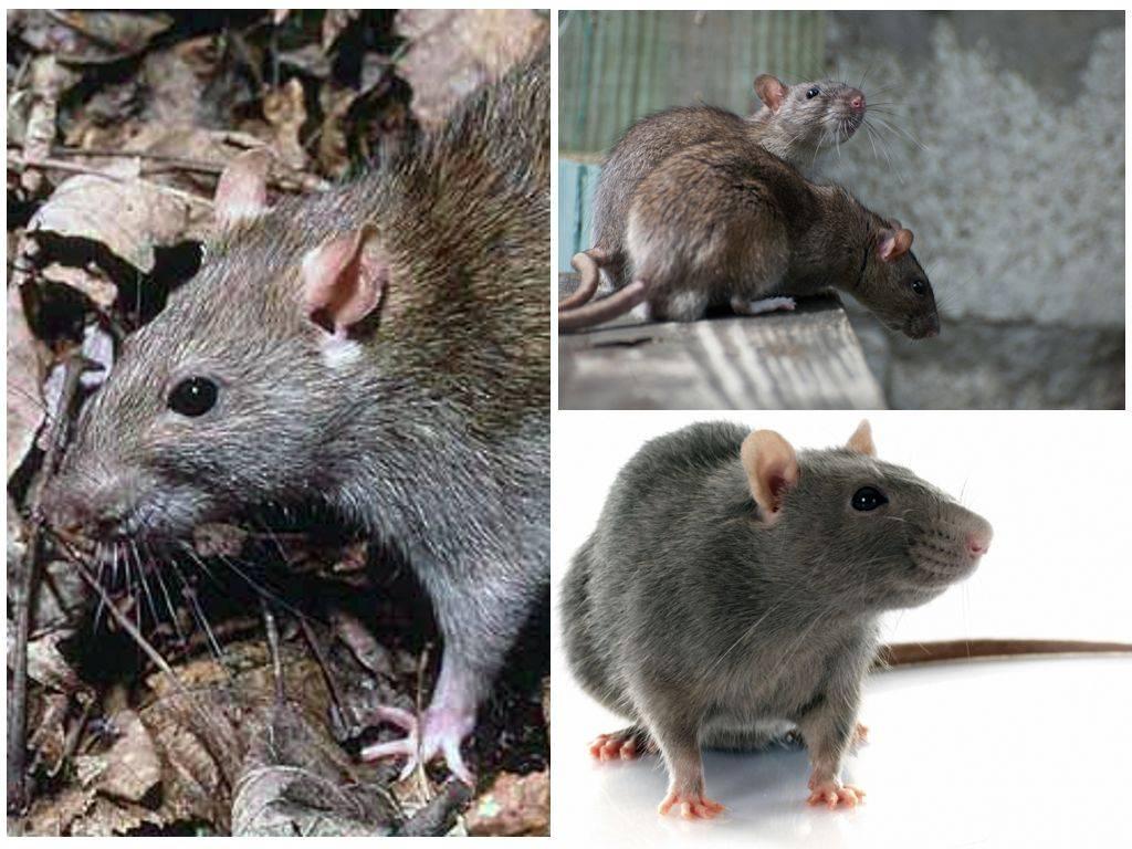 Как избавиться от крыс в подвале (многоквартирного или частного дома): методы уничтожения народными средствами