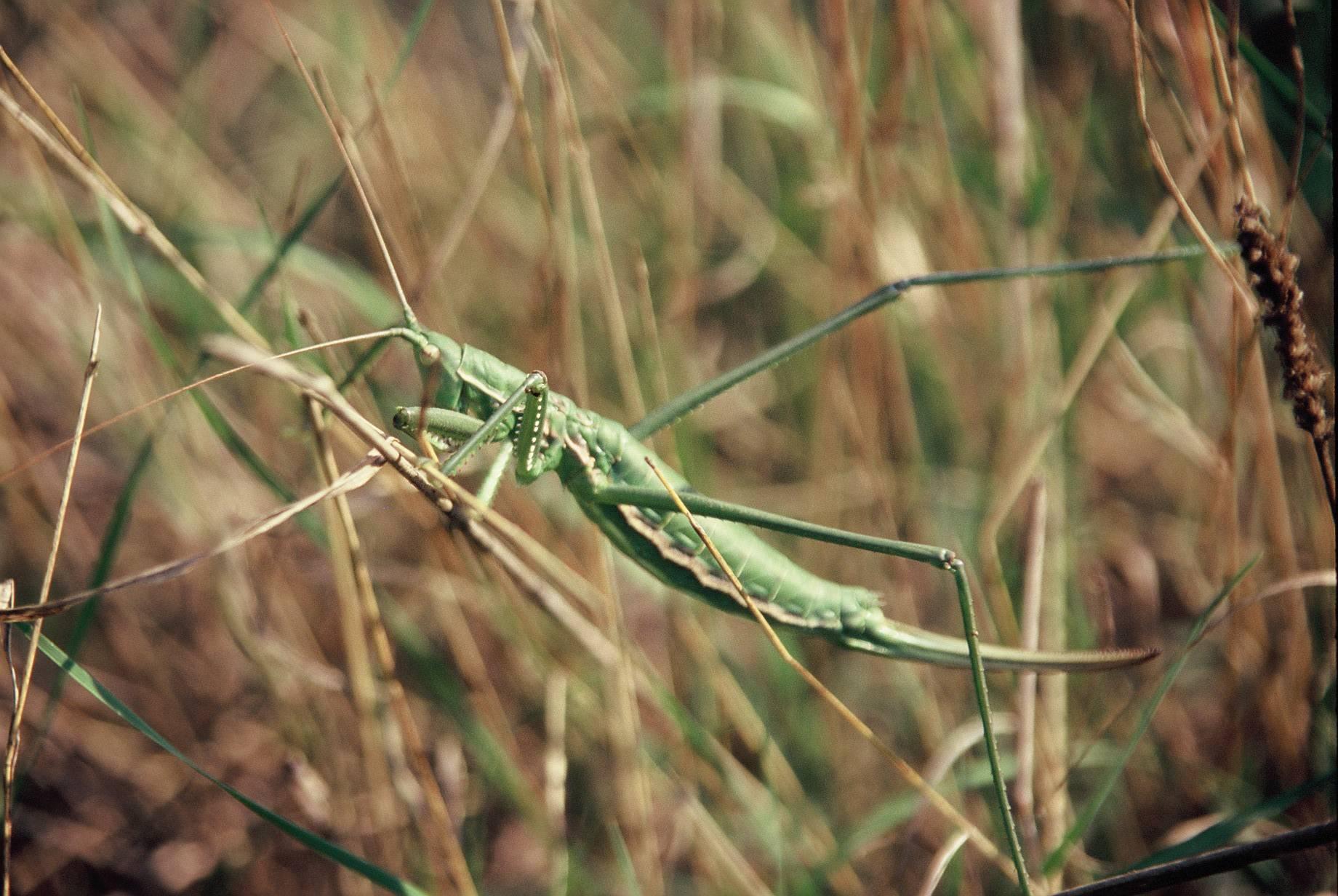 Дыбка степная – самое удивительное насекомое степной зоны