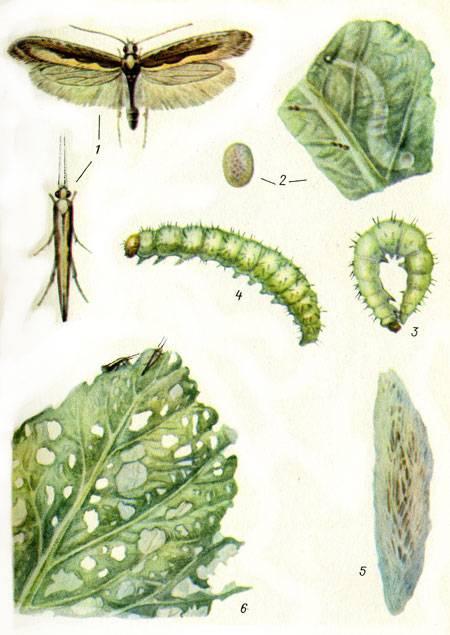 Рапсовый листоед: методы борьбы с вредителем