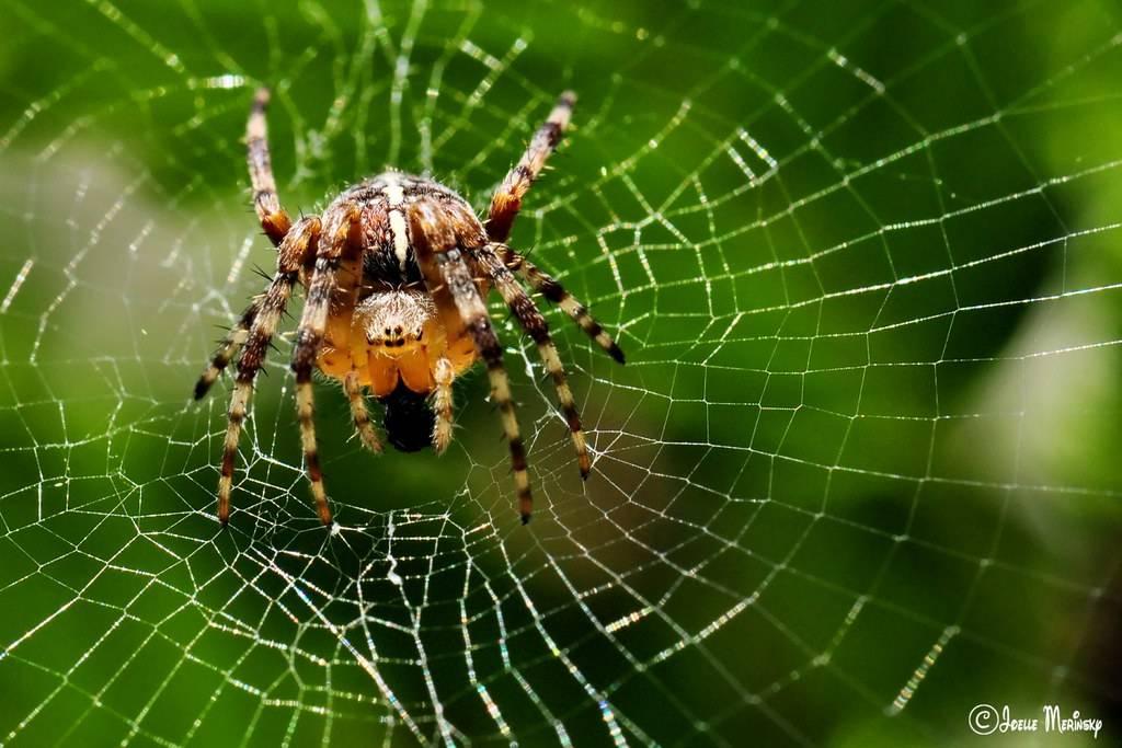 Класс паукообразные – паук-крестовик, строение и особенности поведения