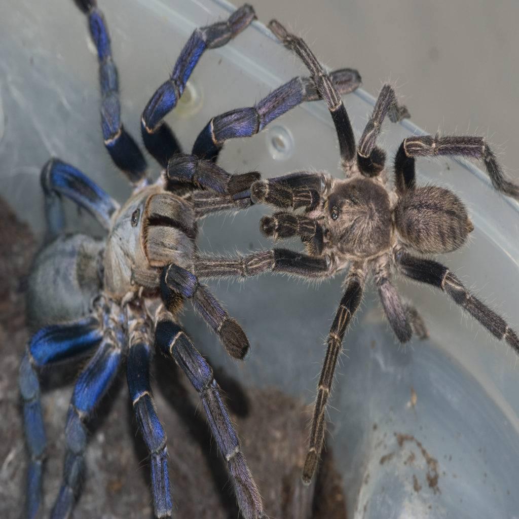 Cиний паук птицеед или металлический древесный птицеед, опасен ли он?