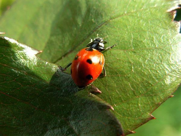 Как избавиться от черных жуков стригунов в огороде