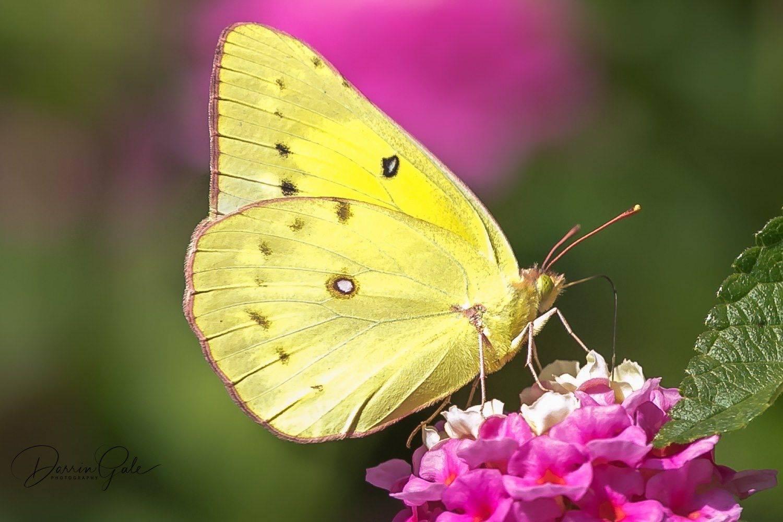Как выглядит бабочка желтушка луговая. желтушка тизо
