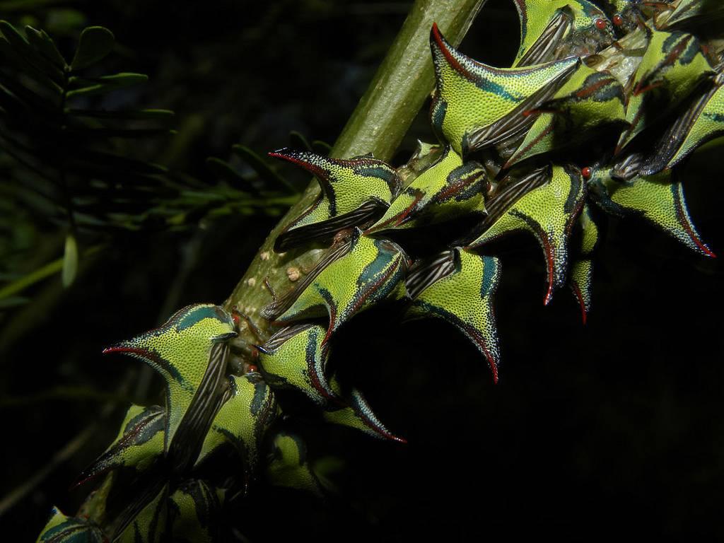 Горбатка рогатая: необычный внешний вид и образ жизни цикадовых