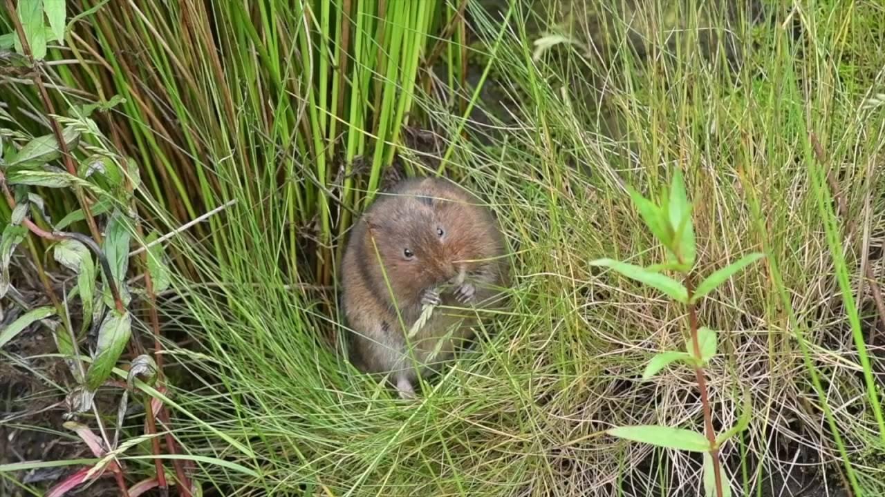 Земляная крыса в огороде - фото и методы борьбы
