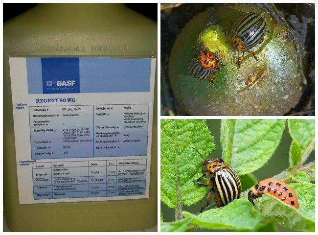 Насколько эффективен препарат «Регент» от колорадского жука?