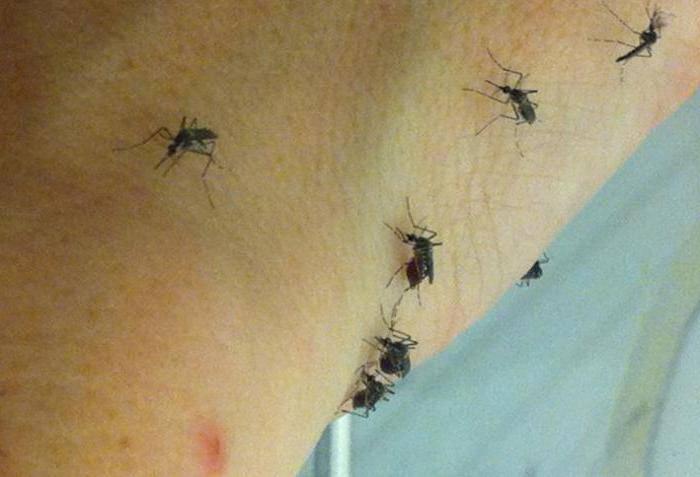 Сколько живут комары и продолжительность их жизни после укуса - жизненный цикл комара