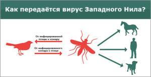 Комар может заразить гепатитом в – всё о болезнях печени