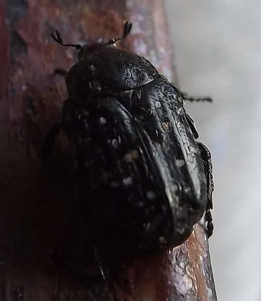 Черный жук стригун на огороде