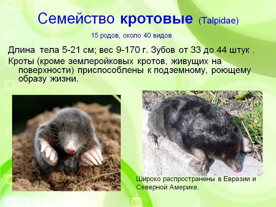Кроты: описание, образ жизни, размножение, виды, польза и вред