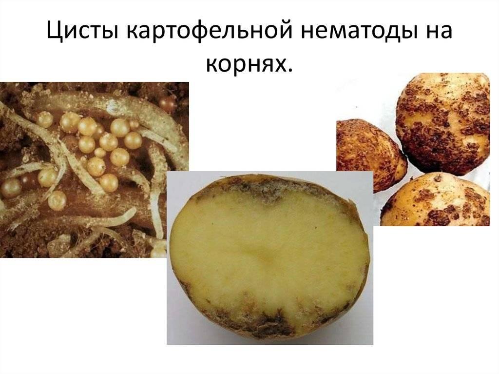Картофельная нематода и способы борьбы с ней