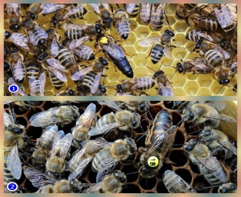 Пчеловодство и пчелы карника: описание породы, и их характеристика