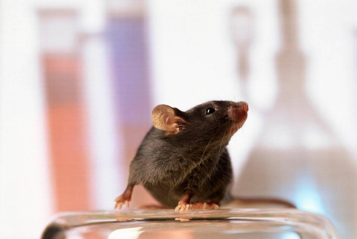 Как избавиться от мышей в частном доме быстро и легко