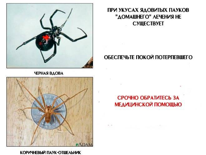 Укус тарантула: опасно ли нападение паука на человека и что делать?