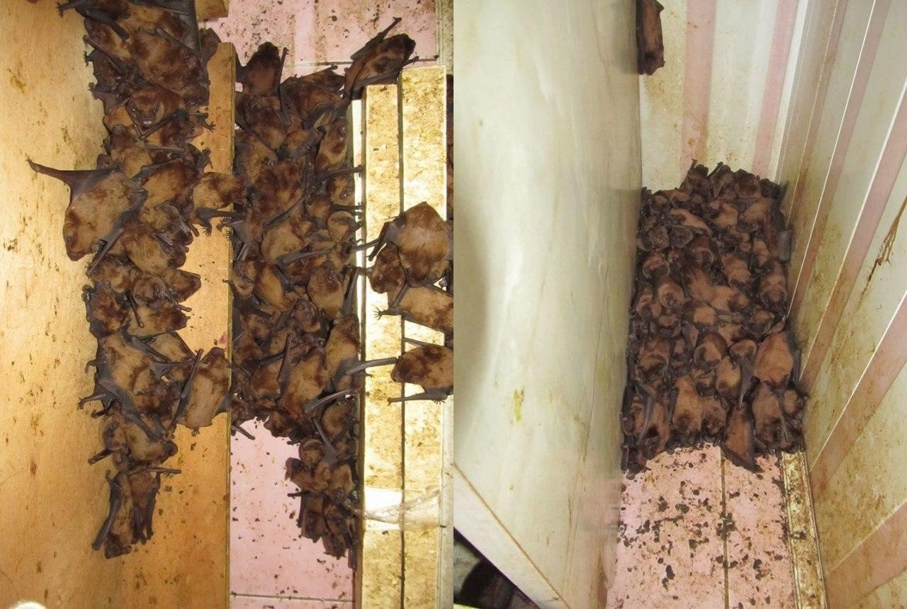 Как правильно выгнать летучих мышей на даче и в квартире