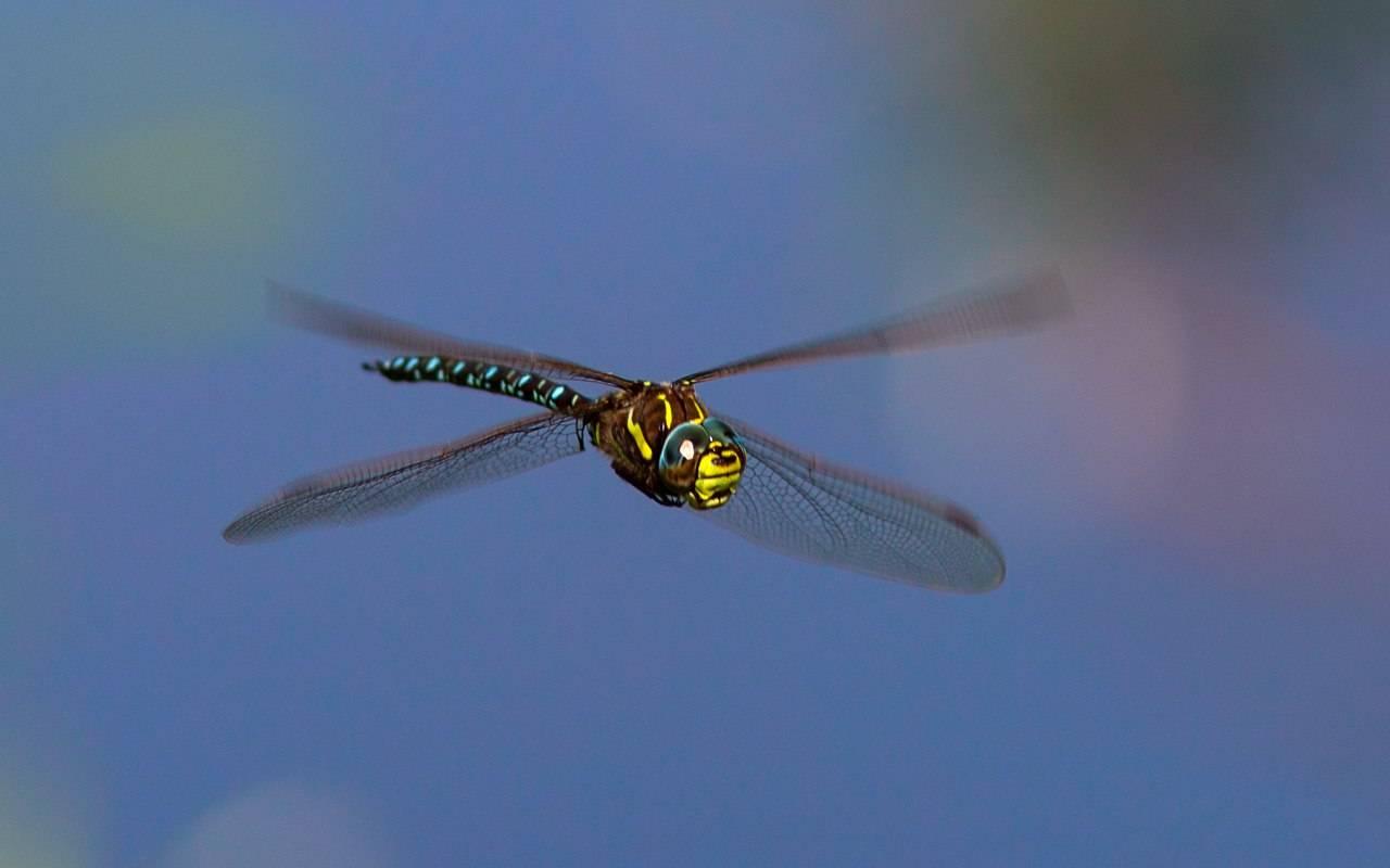 Стрекоза — удивительное насекомое из прошлого. описание, виды, жизненный цикл (фото + видео)