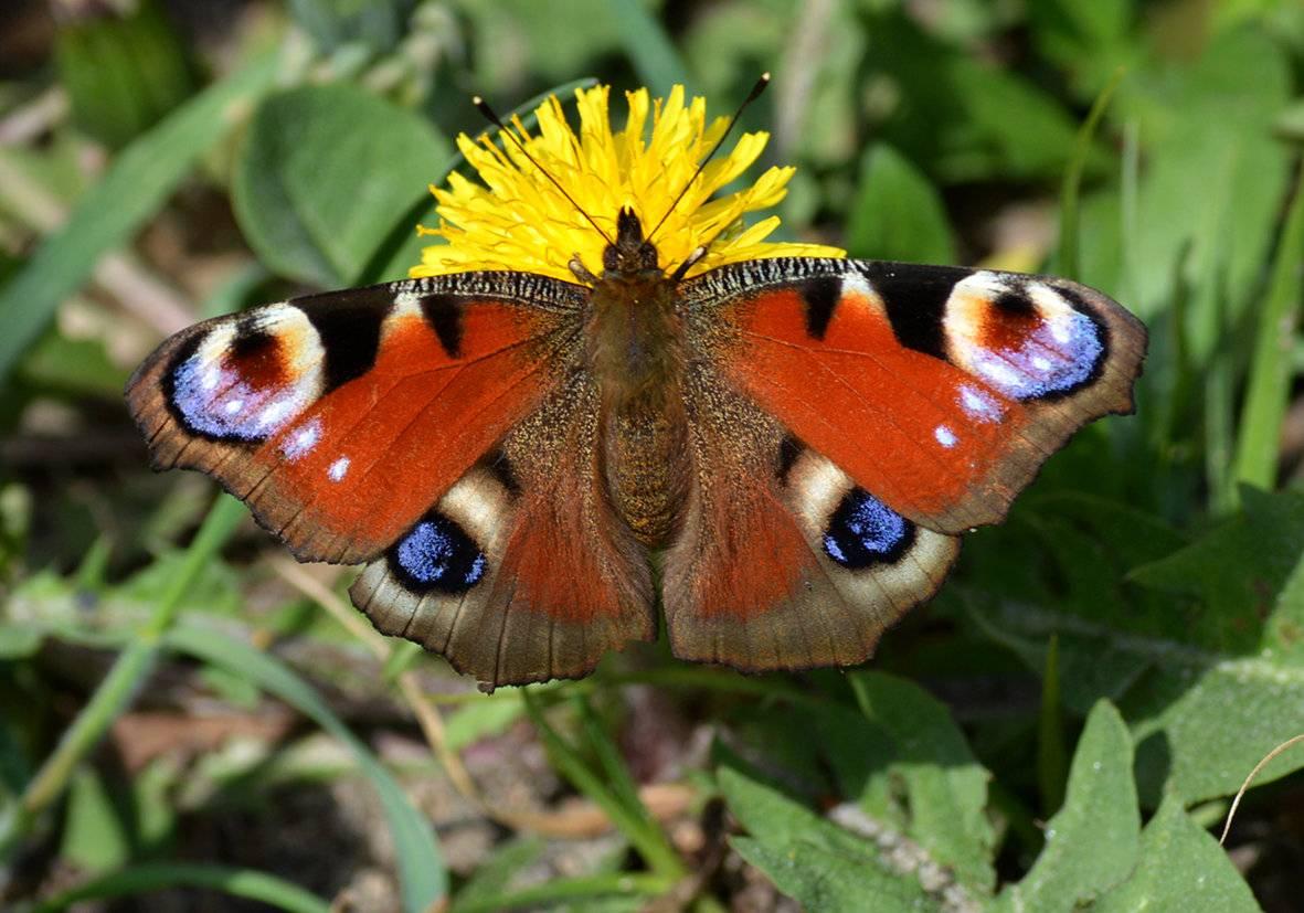 Бабочка павлиний глаз – одно из чудес природы