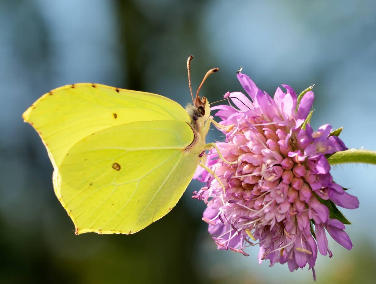 Описание бабочки лимонницы, а также красивые фото