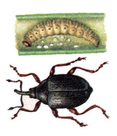Луковый скрытнохоботник (лат. ceutorrhynchusjakovlevischulze)