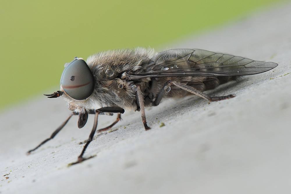 Синяя муха: фото и описание