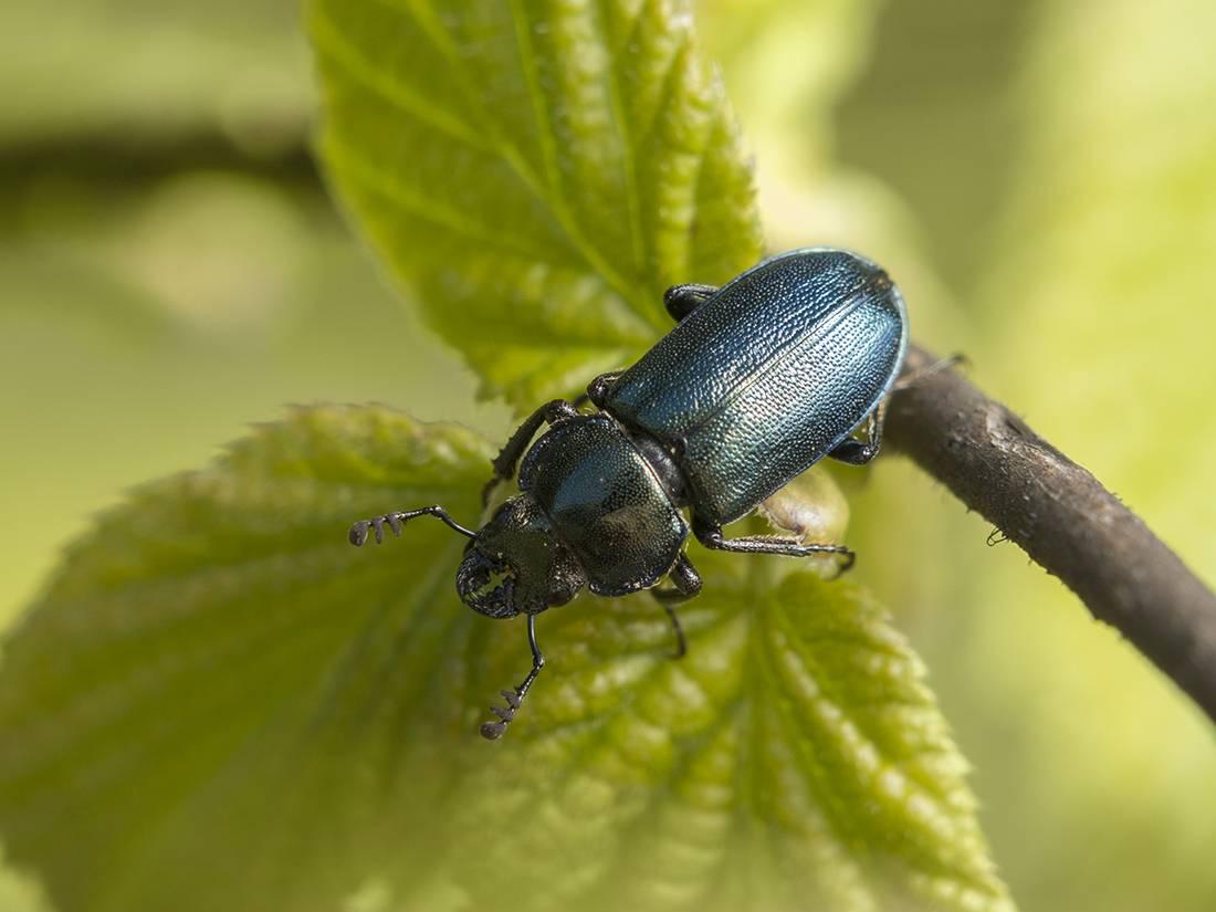 Рогачик скромный— образ жизни лесного жука, причины сокращения численности насекомых