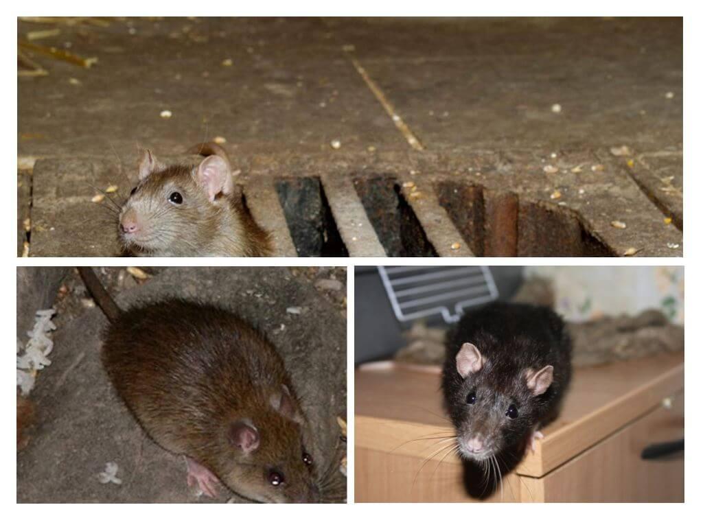 Как избавиться от крыс в квартире, вывести их в частном доме