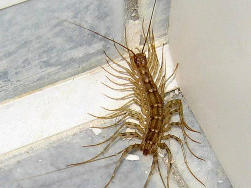 Чем на самом деле является насекомое многоножка? распространенное описание, виды, вред и польза, способы борьбы