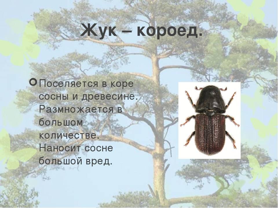 Короед-типограф