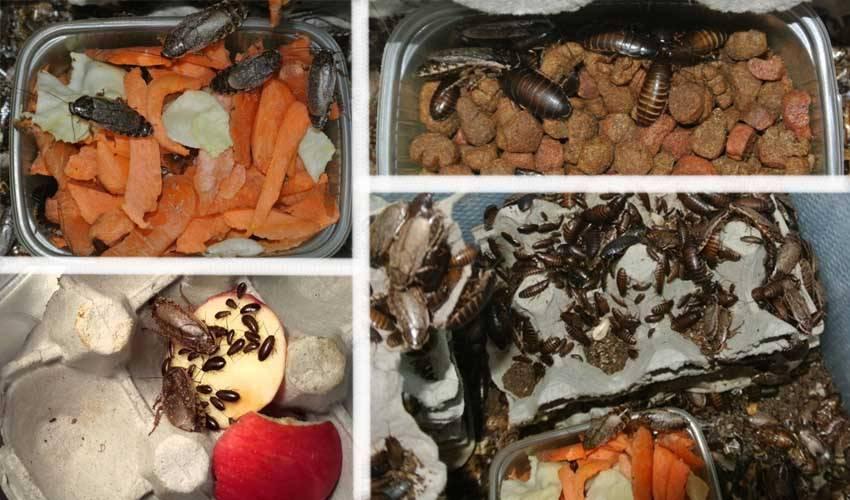 Мраморный таракан: содержание и разведение