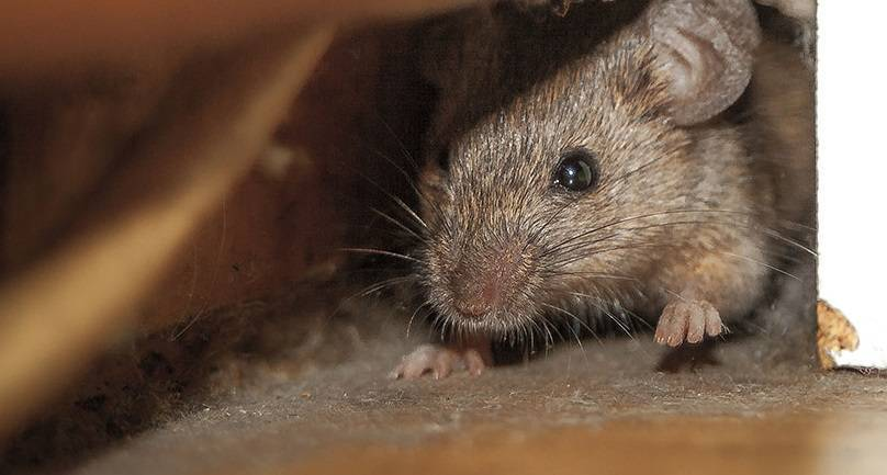 Грызут ли крысы монтажную пену
